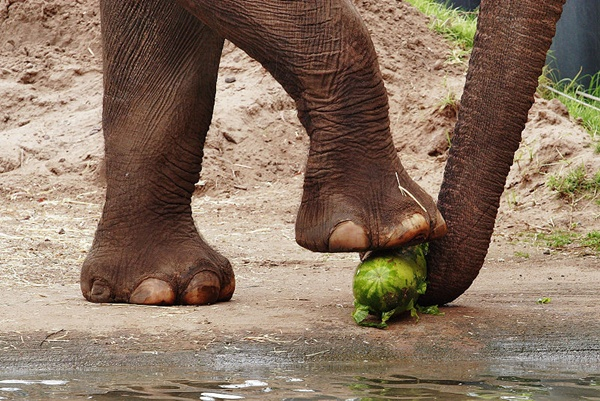 elephant foot watermelon
