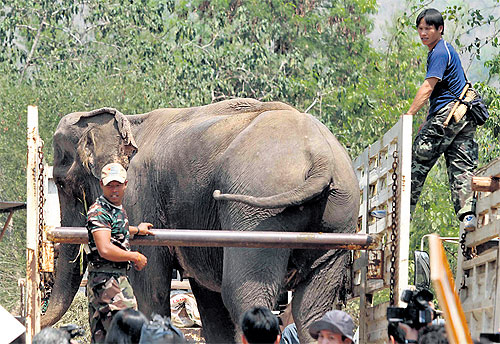 One of 19 elephants seized from an elephant kraal in Kanchanaburi's Sai Yok district by officers from the Department of National Parks, Wildlife and Plant Conservation. A team from the department seized the elephants because the kraal owner allegedly d