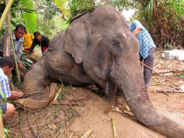 An Adult Male Elephant In Musth Being Managed Inside The Larger Holding Pen Without Recourse To