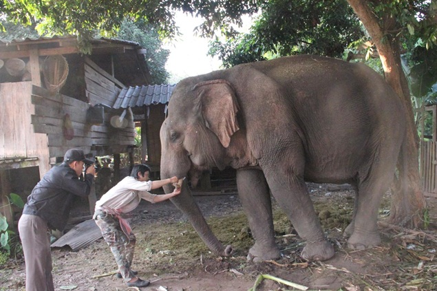 Tusks removed, elephant left to die | Bangkok Post: learning Elephant Tusk Cut
