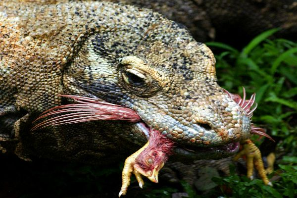 komodo dragon eating a goat