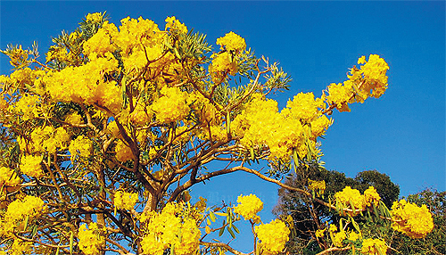 Bangkok post article sure fire sign the yellow flowers of the silver trumpet tree indicate that summer is here mightylinksfo
