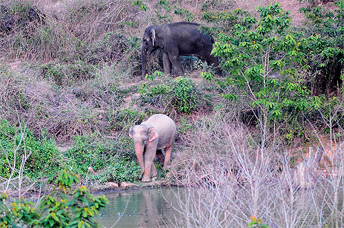 Park officials suspect that this elephant, photographed on April 10, might be a rare white elephant. There is also speculation that it could be the calf of an elephant found butchered in Kaeng Krachan in early March. Park officials are concerned that a w