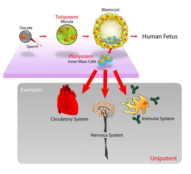 Research Breakthrough Stem Cells From Human Skin Cells Bangkok