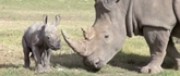 Rhino baby: Hope for dying species