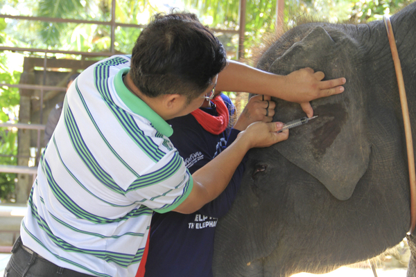 A veterinarian takes a blood sample from a seized elephant at an elephant camp on Phuket Island on Wednesday. Authorities confiscated 16 unregistered elephants from several elephant camps at tourist spots