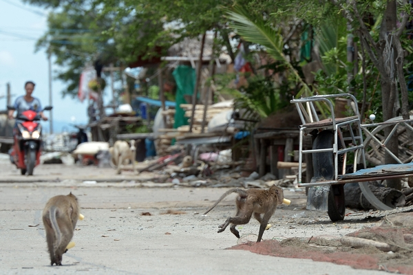 536311 - Thai village under siege from marauding monkeys - Asia   Middle East