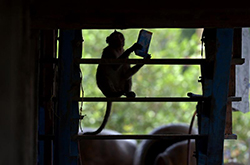 536313 - Thai village under siege from marauding monkeys - Asia   Middle East