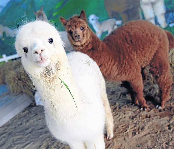 Sheep alpaca farm for kids bangkok post learning for Alpaca view farm cuisine bangkok