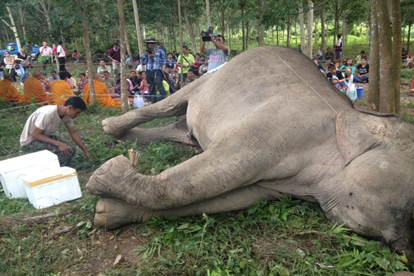 A wild female elephant is thought to have been electrocuted on an orchard near Tai Rom Yen National Park in Kanchanadit district.