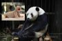 Giant panda accused of faking pregnancy