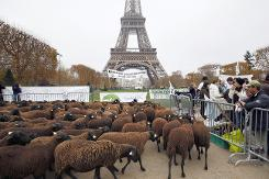 Sheep flock to Eiffel Tower