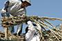 Sugar surplus seen shrinking in '15