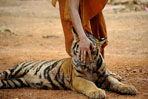 Temple's tigers allowed to stay