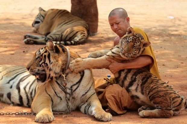 Inspectors find all is well at tiger temple | Bangkok Post ...