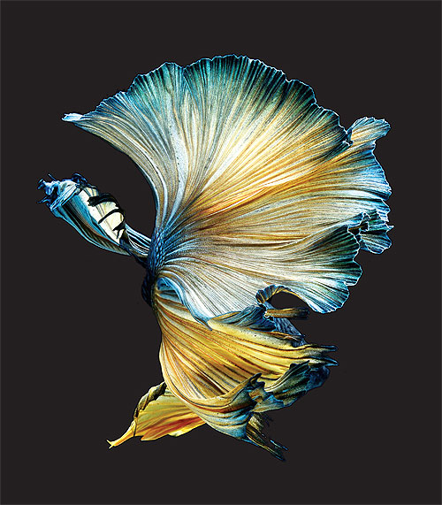 betta fish wallpaper