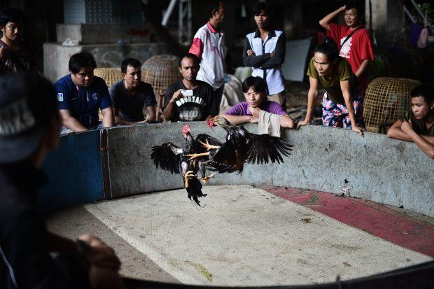 Cockfighting in Thailand: Popular pastime & big business