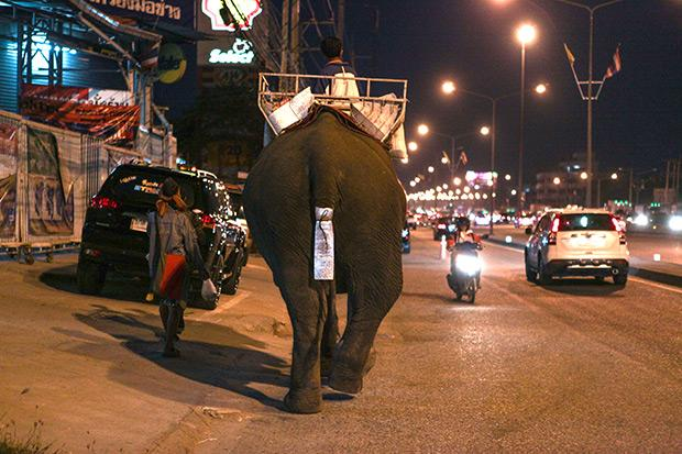 A mahout, taken by mahouts, was roaming the street in front of Amata Nakorn Industrial Estate in Chon Buri in January 19 this year.