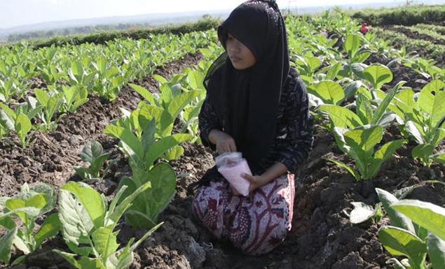 Underaged tobacco farmers face hazardous conditions