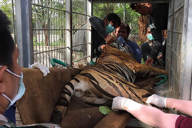 Tiger temple mission just beginning bangkok post news for Fish pedicure nyc