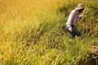 Rice harvest prompts wary sales