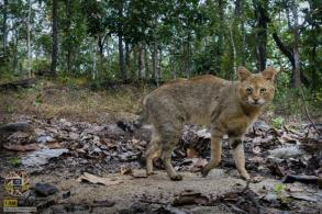 First jungle cats seen in Thailand for 40 years
