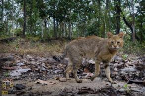 Rare Thai jungle cats turn up in forest reserve