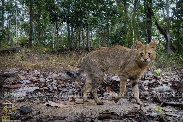 'Swamp cats' seen in Chiang Mai, first time in 40 years