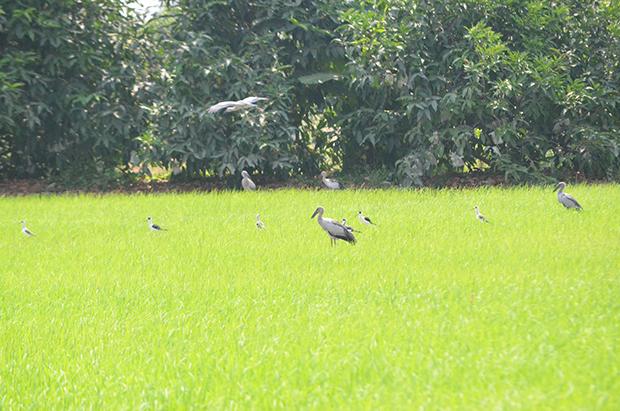 Asian openbill storks arrive in Korat's fields