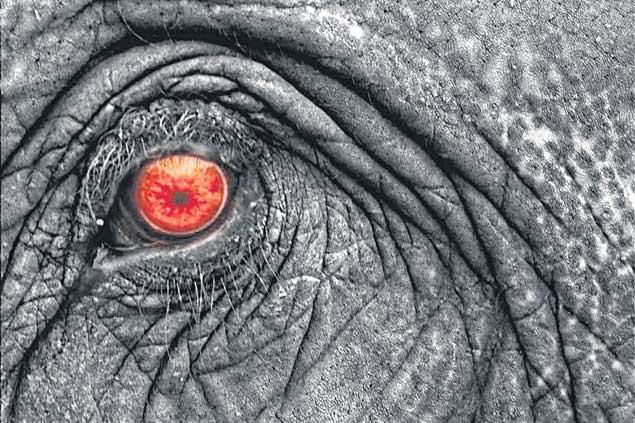 The romance  of the Siamese war elephant