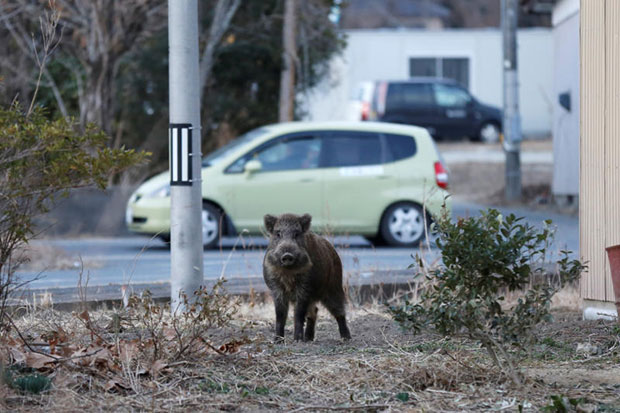 Japan towns scramble to clear out wild boars
