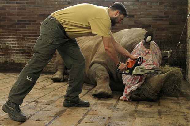 Czech zoo saws off rhinos' horns to keep animals safe