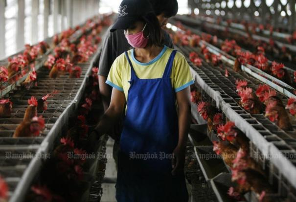 270,000 chickens culled in Japan after bird flu found | Bangkok Post: news
