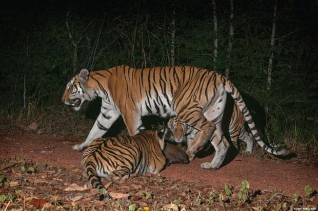 Thai jungle seen as breeding ground for Indochinese tigers | Bangkok Post: news
