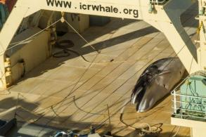 Japanese whalers return from Antarctic with 333 minke