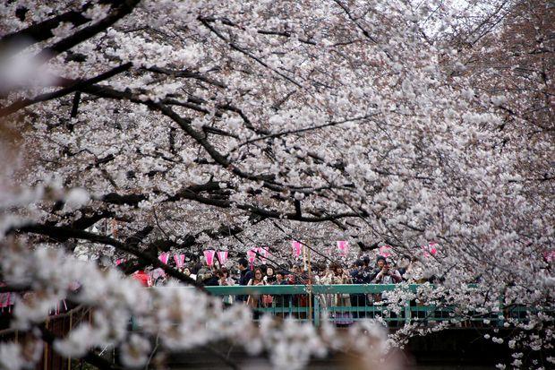 Cherry blossoms burst into bloom across Tokyo
