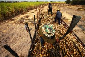 Sugar cane: Farmers profit from high output, high prices