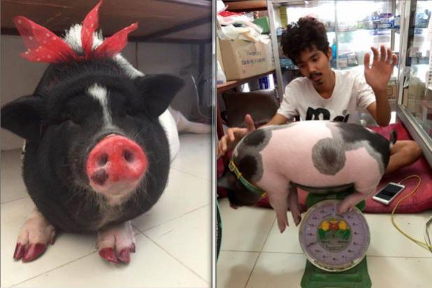 Warning Cute Baby Pet Pigs Grow Up To Become Big Pigs Bangkok Post Learning