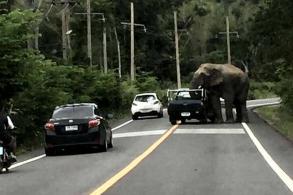 Wild elephants block trucks for pineapples