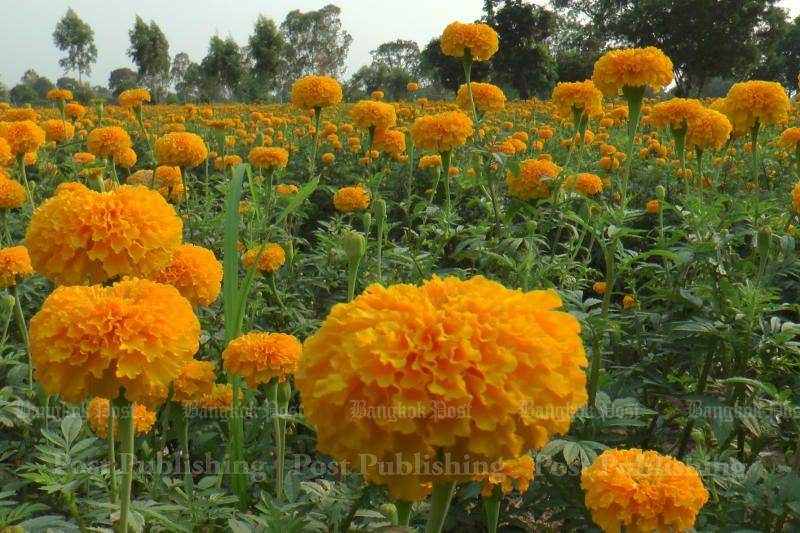 Marigolds for late King