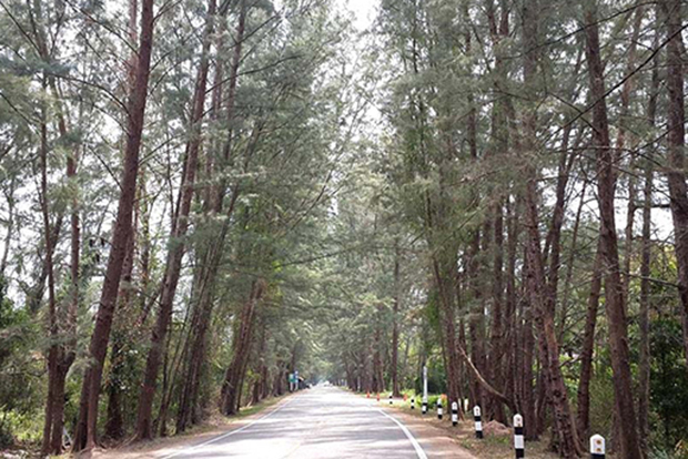 Trang to improve pine tree-tunnel road