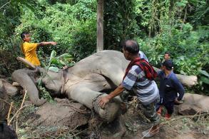 Wild elephant kills domesticated elephant