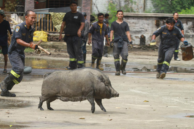 Foul smelling pigs removed