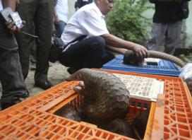 Indonesia raid finds more than 200 pangolins