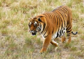 Tigers to be reintroduced to Cambodian wild