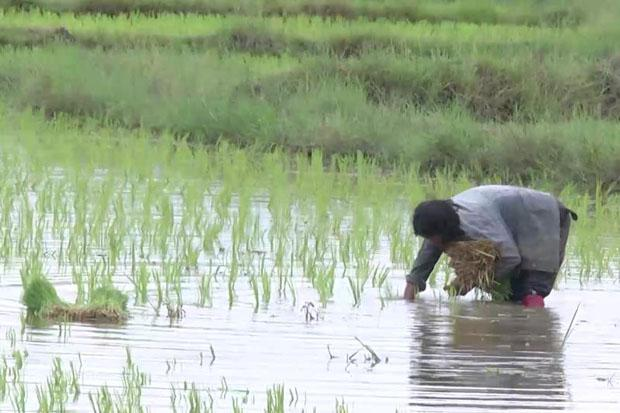Rice Farming Business Plan in Nigeria