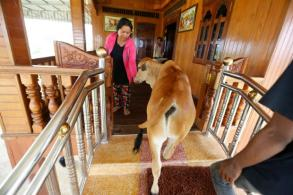 Cambodia widow sees dead husband in a calf