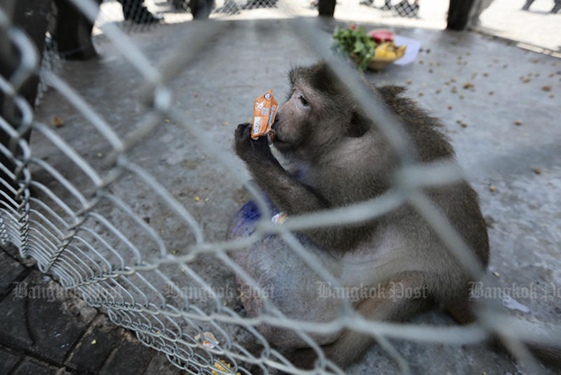 Lazy, fat macaque for release after strict diet