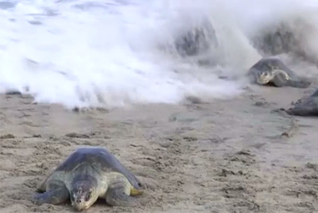 Thousands of sea turtles lay eggs on protected Mexican beach