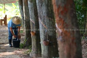Govt to swoop in on rubber sneaks, illegal plantations